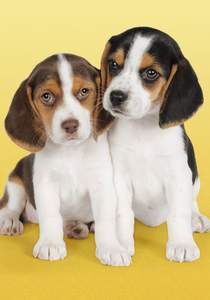 Clementoni Puzzle 500 Nice beagles