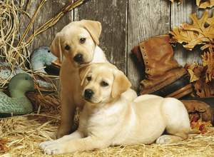 Clementoni Puzzle 1500 Hunting dogs