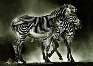 Educa Puzzle 500 Zebras
